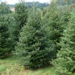 72 de pomi de Crăciun vor fi distribuiți de Primăria Sebeș școlilor, grădinițelor, bisericilor și altor unități aflate în subordine