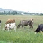 La Cut, Primăria închiriază cetăţenilor peste 430 de hectare pentru păşunat