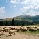 Minor din Gârbova de Sebeș cercetat penal după ce a furat 7 oi de la o stână