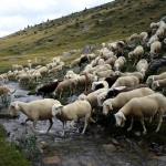 Intervenție a jandarmilor pentru aplanarea unui conflict iscat între doi ciobani din Loman
