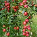 Câteva mere luate dintr-o grădină din Săsciori l-ar putea aduce unor bărbați din Petrești dosare penale