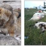Peste 100 de oi ale sătenilor din Meteş şi Loman, hăcuite de haite de lupi flămânzi