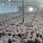 Firmă din Pianu de Jos amendată cu 100.000 de lei după ce a îngropat 40 de tone de pui și găini moarte