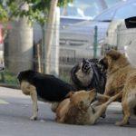 Sebeşul, sub asaltul câinilor fără stăpân!