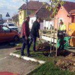 200 de puieţi de tei, cu frunze bicolore, vor fi plantați pe străzile Aviator Olteanu, Dorobanți și Augustin Bena, din Municipiul Sebeş