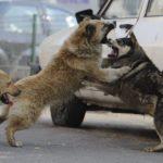 """O haită de câini aciuită lângă sediul firmei """"Low Construct"""", la ieșirea înspre Petrești, creează mari probleme rezidenților din zonă"""