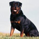 Comunitatea din Vingard terorizată de un câine, rasa Rottweiler, lăsat de izbelişte