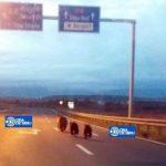 """O ursoaică și cei doi pui ai săi surprinși """"la plimbare"""" pe Autostrada A1, între Săliște și Sibiu"""