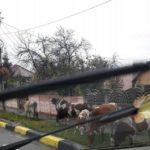 Iarba gazonului plantat în vară, pe zeci de milioane de lei de Primarul Dorin Nistor, este păscută de o cireadă de vaci care umblă liberă prin Sebeș