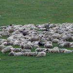 Un bărbat din Jina și o femeie din Sărciori au fost reținuți de polițiștii din Sebeș după ce au furat o turmă de 50 de oi
