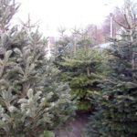 82 de brazi de Crăciun oferiți spre vânzare ilegal de către o societate comercială din Sebeș, confiscați de polițiști