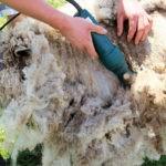 Dacă un ambițios proiect va trece de AFIR, ciobanii din Şugag vor avea unde să-şi valorifice lâna oilor lor, ba chiar şi a celor din Sibiu şi Cluj