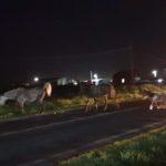 Doi cai și un mânz lăsați nesupravegheați pun în pericol siguranța circulației pe șoseaua care face legătura între Sebeș și Petrești